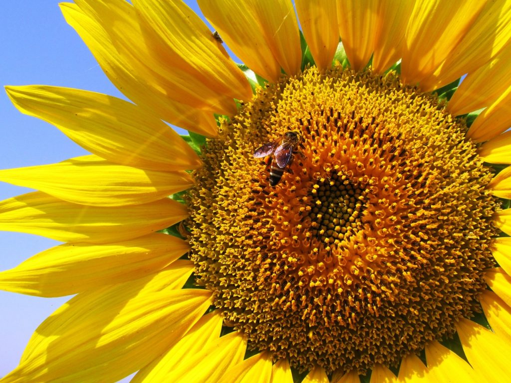 sunflower-268012_1280-1024x768